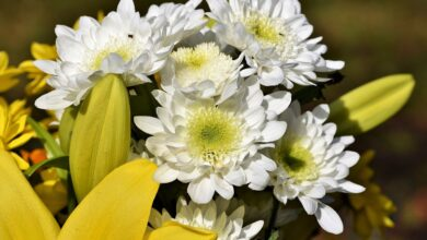 Можно ли дарить хризантемы