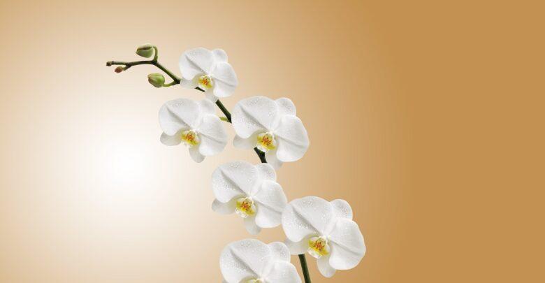 Можно ли дарить орхидеи
