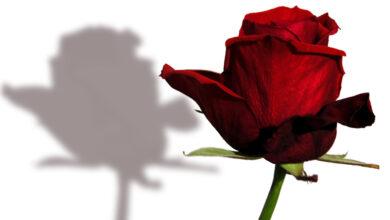 Можно ли дарить одну розу девушке