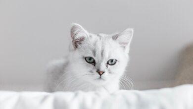 К чему снится, что дарят котенка
