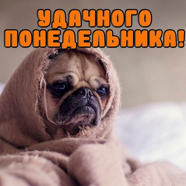 Милый бульдог в одеяле