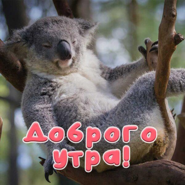Открытка со спящей коалой