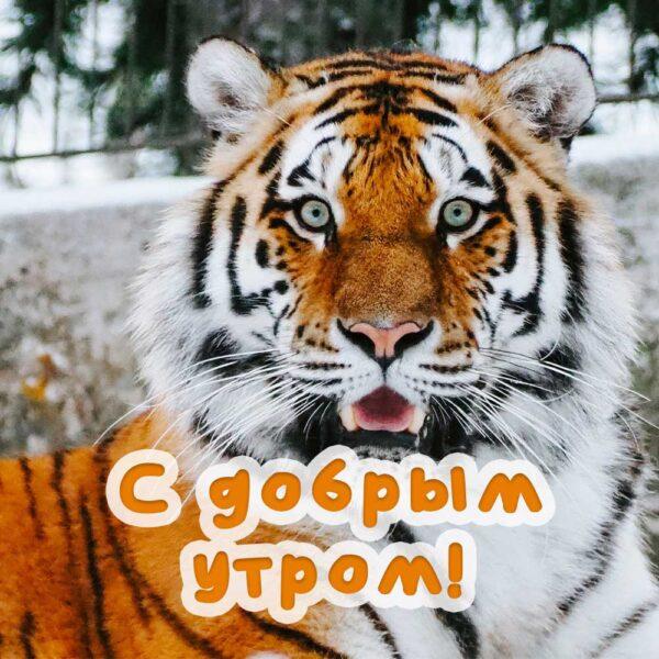 Невероятно красивый тигр на открытке